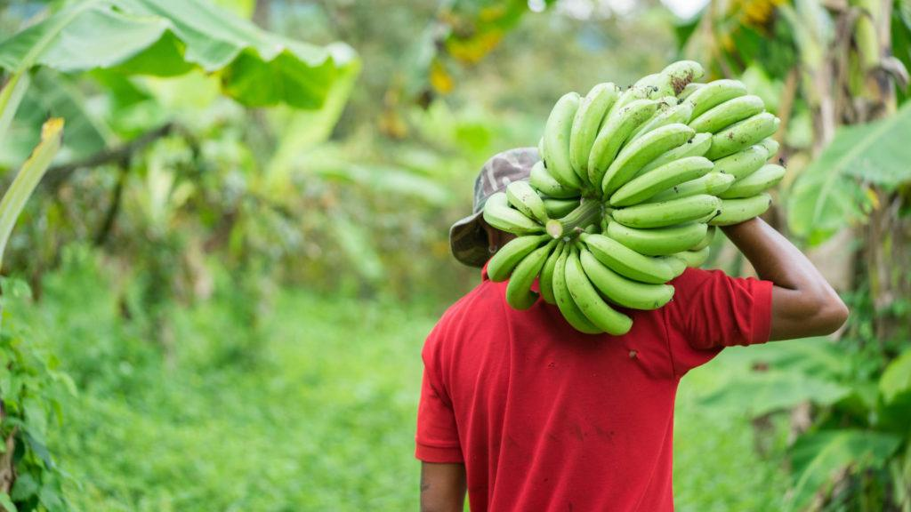 Banana Plant Vietnam 16x9 1920x1080 1